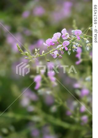 野に咲くピンクのアレチヌスビトハギ 69174599