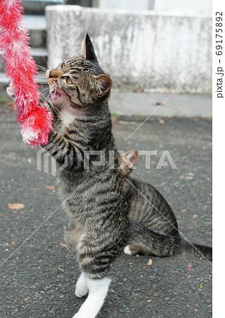 家族みんな参加の猫じゃらし大運動会をする野良猫の子猫達 69175892