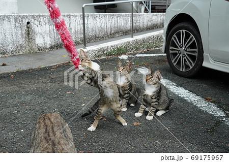 家族みんな参加の猫じゃらし大運動会をする野良猫の子猫達 69175967