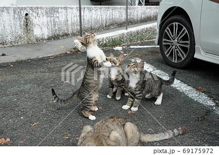 家族みんな参加の猫じゃらし大運動会をする野良猫の子猫達 69175972