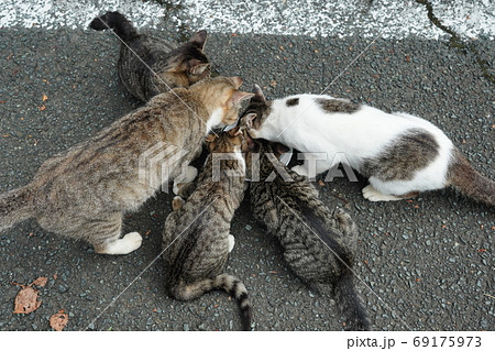 家族みんな参加の猫じゃらし大運動会をする野良猫の子猫達 69175973