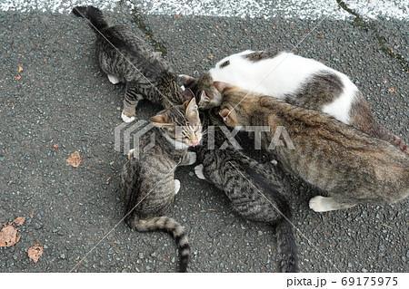 家族みんな参加の猫じゃらし大運動会をする野良猫の子猫達 69175975