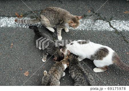 家族みんな参加の猫じゃらし大運動会をする野良猫の子猫達 69175978