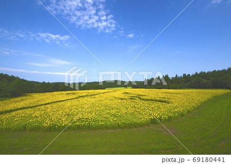 青森県南郷 山の楽校のひまわり畑 69180441