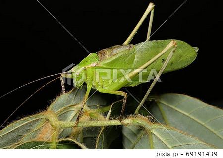 クツワムシ成虫のオス、夏から秋に鳴く虫 69191439