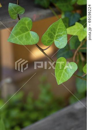 ハートの形をした新緑のアイビーの葉のクローズアップ写真 69196224