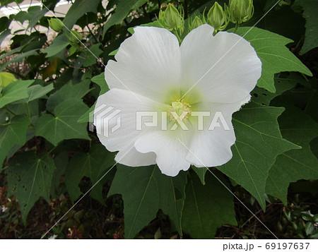 白色の大きな花はアメリカフヨウの花 69197637