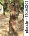 公園の桜の木の不定根 69198203