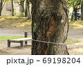 公園の桜の木の不定根 69198204