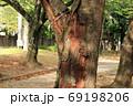 公園の桜の木の不定根 69198206