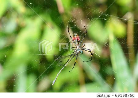 ジョロウグモの巣にかかったオオアオイトトンボ 69198760
