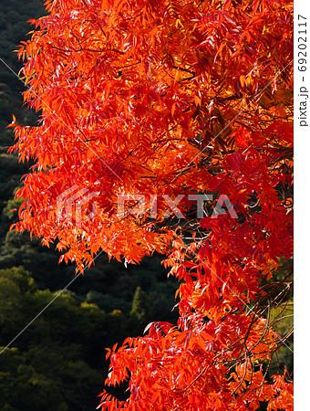 岩国市吉香公園の鮮やかなカイノキの紅葉 69202117