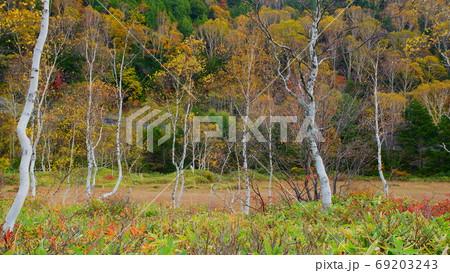 志賀高原秋の田ノ原湿原の白樺と山腹の黄葉コラボ 69203243
