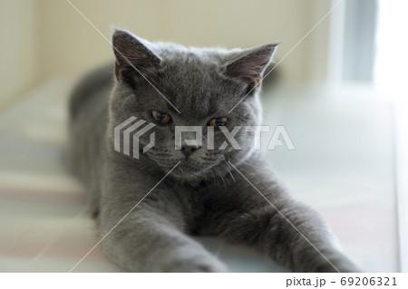ブリティッシュショートヘアーの子猫 69206321