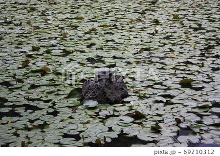 池の睡蓮の葉に囲まれた岩の上のカメ 69210312