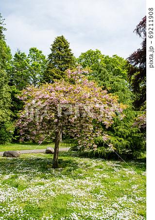 満開の桜の花と芝生の間に咲いた小さい白い花 69211908