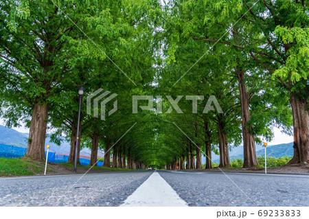 マキノ高原のメタセコイア並木(夏) 69233833