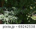 鮮やかな緑の楓の葉 69242538