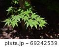 鮮やかな緑の楓の葉 69242539