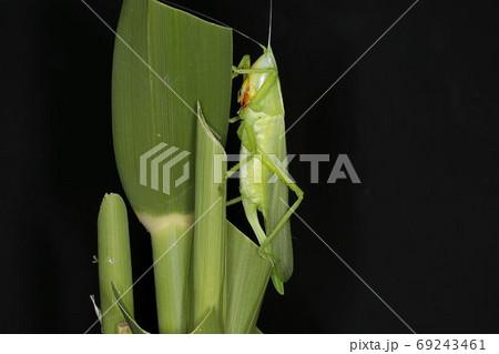 羽化直後のカヤキリ(メス)、真夏の昆虫 69243461