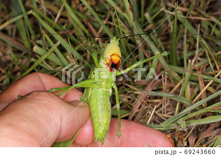 カヤキリ(雄)の捕獲、真夏の昆虫 69243660