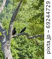 木に止まる2羽のカラスたち 69244729