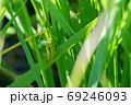 稲の隙間からイナゴを撮影 69246093