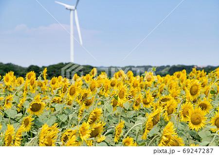 風力発電の風車とひまわり畑 千葉県銚子市 日本 69247287