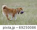 野原で遊ぶ柴犬 69250086