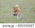 野原で遊ぶ柴犬 69250087