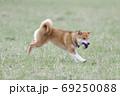 野原で遊ぶ柴犬 69250088