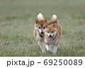 野原で遊ぶ柴犬 69250089