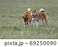 野原で遊ぶ柴犬 69250090