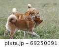 野原で遊ぶ柴犬 69250091