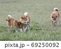 野原で遊ぶ柴犬 69250092