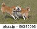 野原で遊ぶ柴犬 69250093