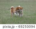 野原で遊ぶ柴犬 69250094