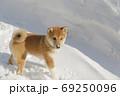 初めての雪で遊ぶ柴犬 69250096