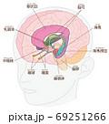 頭部 脳の図解 大脳辺縁系 名称入り 69251266