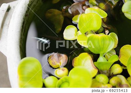 ホテイアオイとメダカの睡蓮鉢ビオトープの横向き写真 69255413