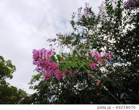 温帯の森の中でピンク色の花を咲かせる野生の百日紅 69258070