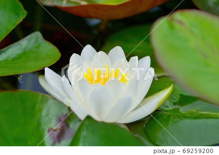 光を浴びて輝く満開の白いスイレンの花 69259200