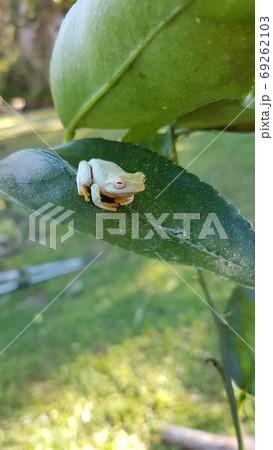 大きな葉っぱの上で目を閉じてのんびりする蛙 69262103
