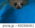 泳いでいるゼニガタアザラシの顔 69268461