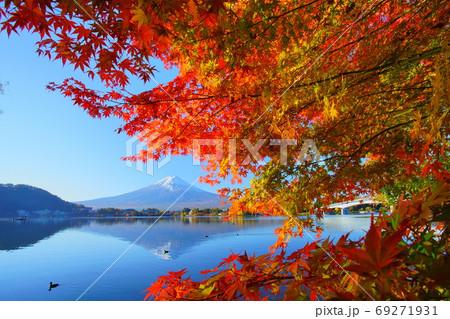 河口湖の鮮やかな紅葉と逆さ秋晴れ富士の中を進む鴨の隊列 69271931