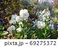 横浜山下公園に咲く白い花 69275372