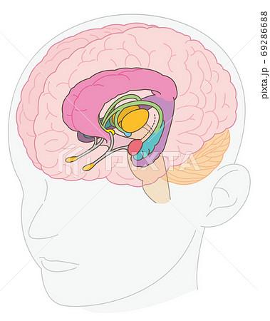 大脳辺縁系 名称なし(視床の追加) 69286688