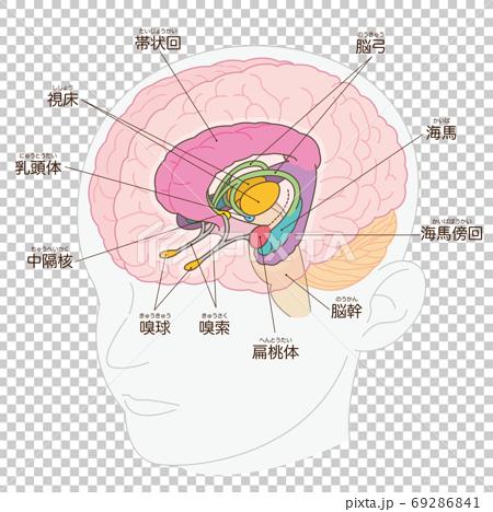 腦緣系統名稱(丘腦外) 69286841