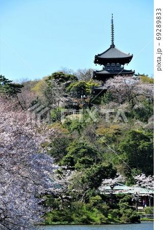 満開の桜と三重塔がコラボする横浜三渓園 69289833
