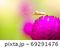 A small green insect on purple flowers blooming in a refreshing morning. The Stink bug is pollinating flowers in the forest. The concept of nature and the beautiful ecosystem. Close up and copy space. 69291476